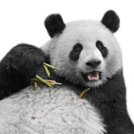 No Funciona tu Content Marketing: ¿Culpas al Pingüino o al Panda?